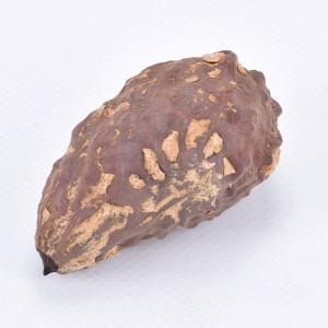 Thika Nuss Samen, ca. 6-10 cm, 1 Stück